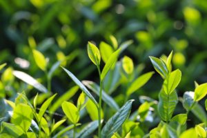 紅茶の茶葉が生えている状態