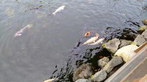 瓢月亭の庭園の池に鯉が泳いでいます