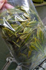 茶摘み体験の茶葉